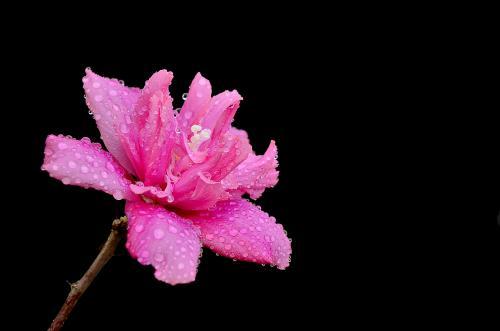 好一朵木槿花
